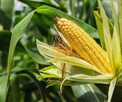 Bio-plastic made form corn starch