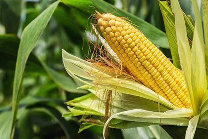 Plastik aus Maisstärke