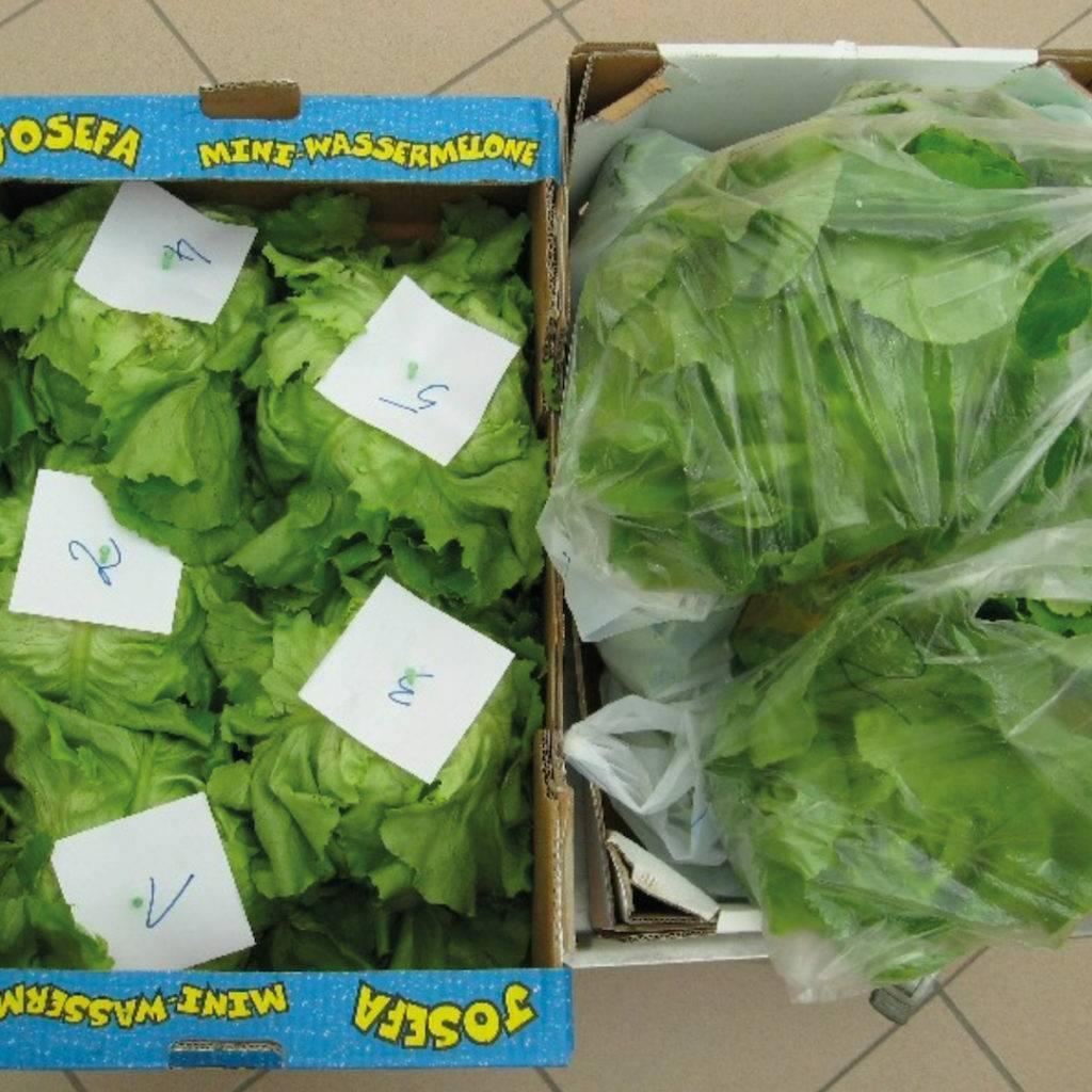 Salat der BOKU Frischhaltestudie